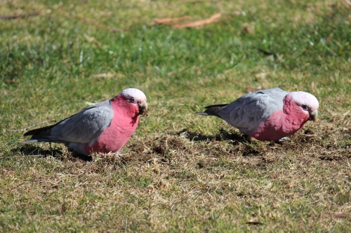 Couple of Galahs