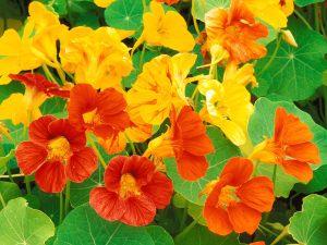 nasturtium_flowers